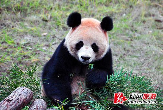 长沙生态动物园现共有4只大熊猫