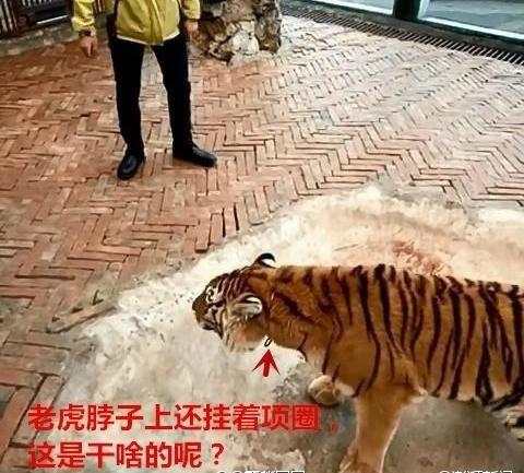 贵州动物园回应虐虎:系饲养员与幼虎嬉戏场景