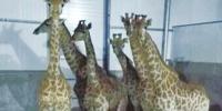 萌化了 66头南非长颈鹿组团抵郑 - 河南一百度