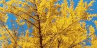 正是银杏泛黄时,郑州周边最全赏银杏指南,错过再等一年! - 河南一百度