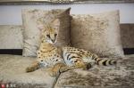 英国家庭领养薮猫当宠物 不顾危险一起玩耍 - News.Zynews.Com