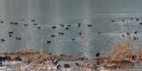 """郑州来了""""稀客"""",全球极濒危鸟类青头潜鸭现身龙子湖 - 河南一百度"""