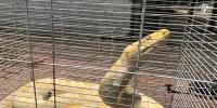 吓人!4米长黄金大蟒惊现郑州街头 - 河南一百度
