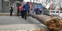 狂风中,郑州一棵行道树被连根拔起 - 河南一百度