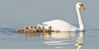北龙湖疣鼻天鹅乔迁湿地公园 - 河南一百度